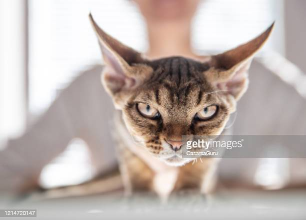 close-up of devon rex cat looking at camera - purebred cat stock pictures, royalty-free photos & images