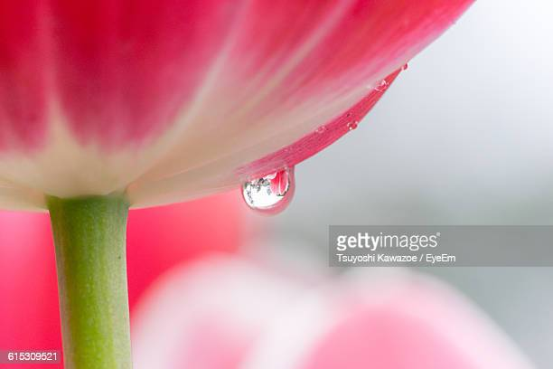 Close-Up Of Dew Drop On Pink Tulips In Park