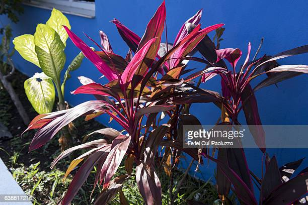 Close-up of Diffenbachia plant and good luck plant in Varadero of Matanzas province in Cuba