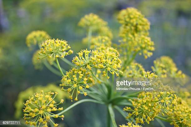 Close-Up Of Dill Flowers Blooming Outdoors