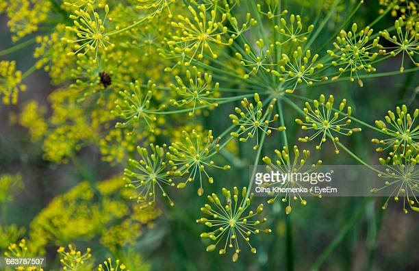 Close-Up Of Dill Flowers