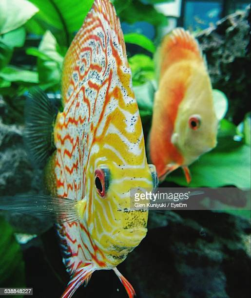 Close-Up Of Discus Fish Swimming Underwater