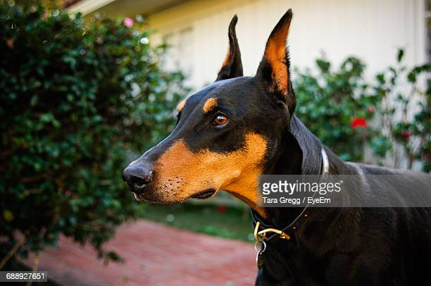 close-up of doberman pinscher at back yard - doberman foto e immagini stock
