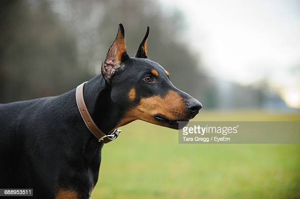 close-up of doberman pinscher on field - doberman foto e immagini stock