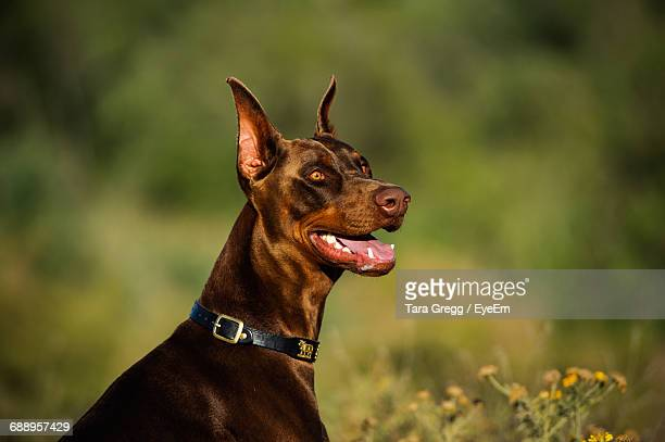 Close-Up Of Doberman Pinscher On Field