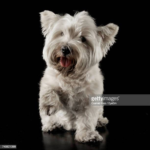close-up of dog against black background - west highland white terrier stock photos and pictures