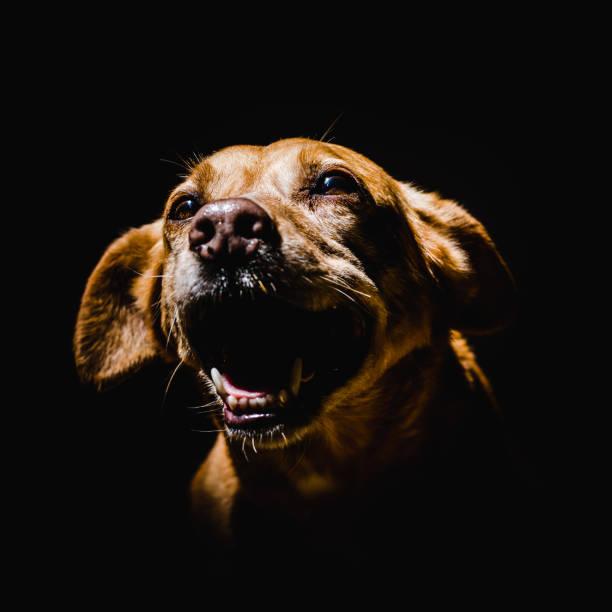 Close-up of dog against black background,Porto Alegre,State of Rio Grande do Sul,Brazil