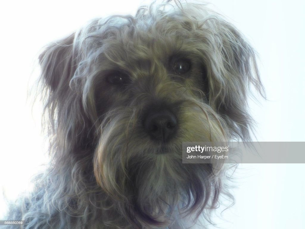 Close-Up Of Dog Against White Background : Stock Photo