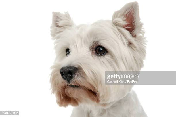 close-up of dog against white background - west highland white terrier stock photos and pictures