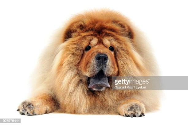 Close-Up Of Dog Against White Background