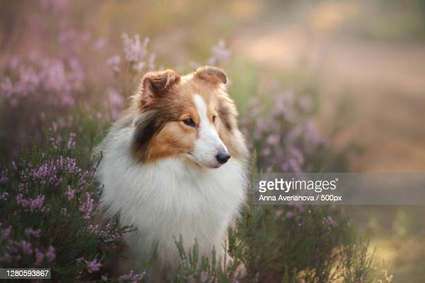 close-up of dog amidst flowers on field - コリー ストックフォトと画像