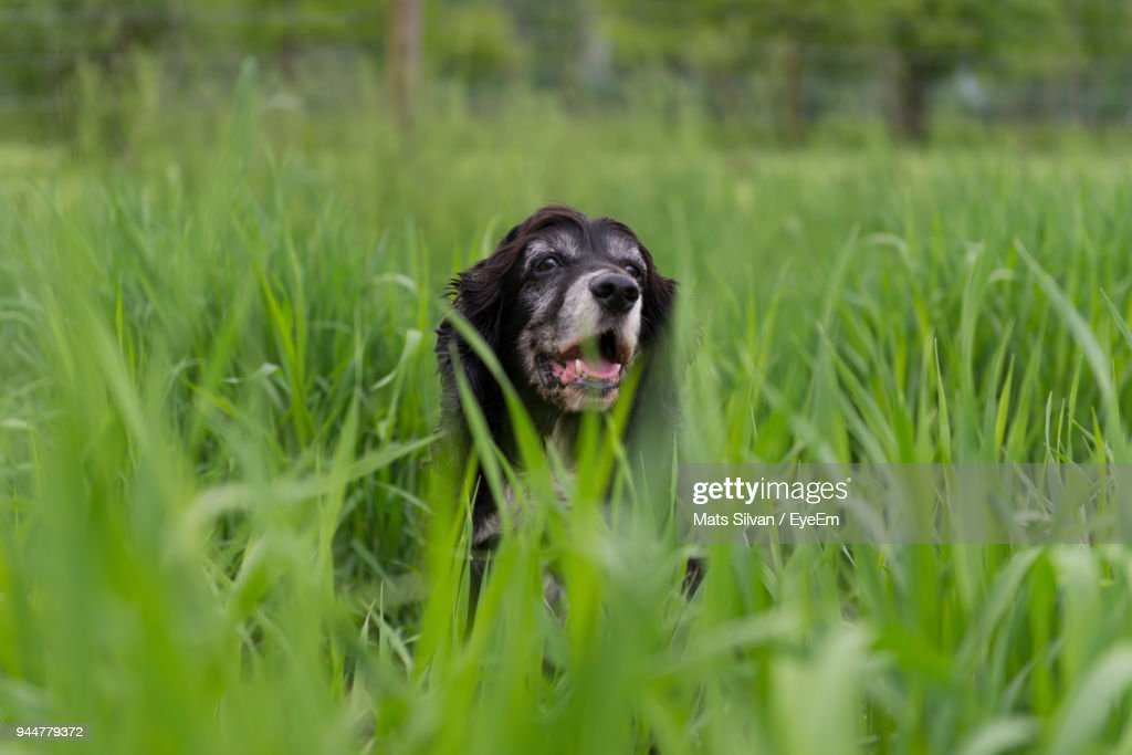 Close-Up Of Dog Amidst Grass On Field : Stock Photo