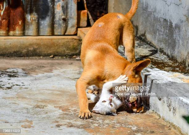 close-up of dog and cat fighting - dog fight stock pictures, royalty-free photos & images