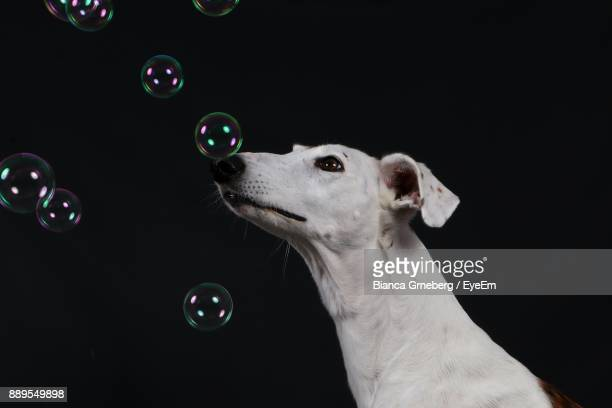 Close-Up Of Dog By Bubbles Against Black Background