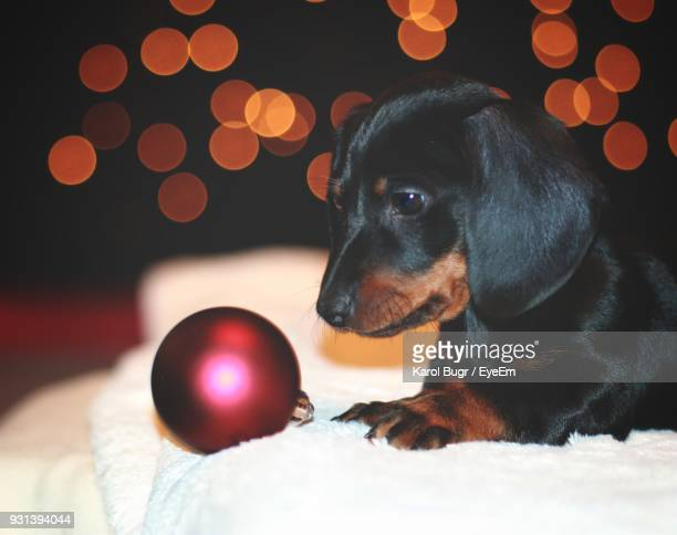 close-up of dog by christmas ornament at home - dachshund christmas stock pictures, royalty-free photos & images