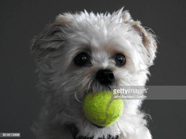 close-up of dog carrying ball in mouth against gray background - hairy balls stock photos and pictures