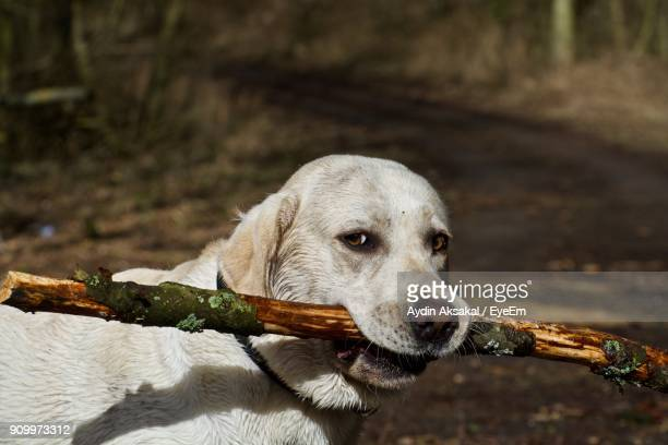 Close-Up Of Dog Carrying Stick In Mouth