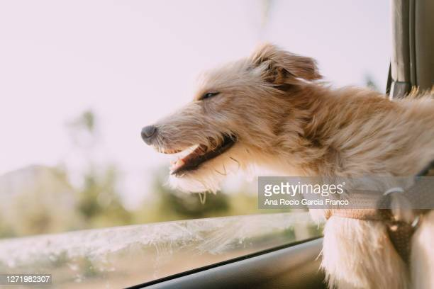 close-up of dog in car - window stock pictures, royalty-free photos & images