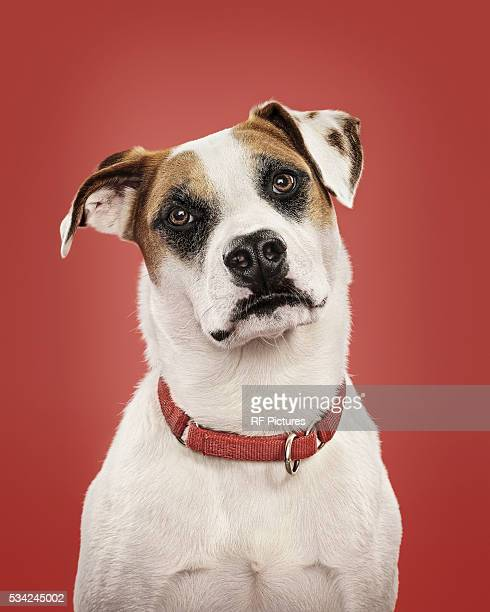 close-up of dog in collar, studio shot - collar stock pictures, royalty-free photos & images