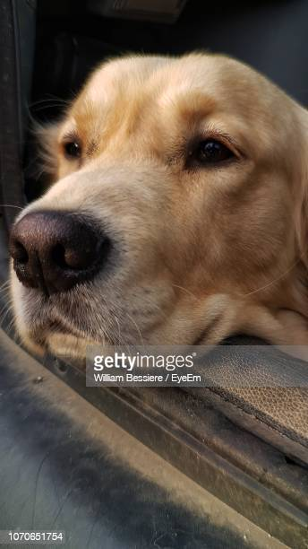 close-up of dog looking away - animal nose stock pictures, royalty-free photos & images