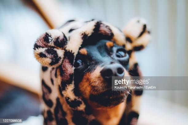 close-up of dog looking away - koukichi stock pictures, royalty-free photos & images