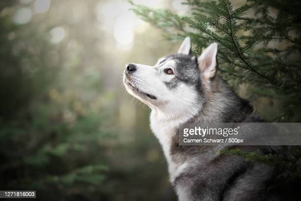 close-up of dog looking away - husky stock pictures, royalty-free photos & images
