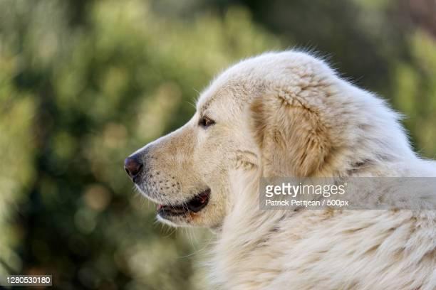 close-up of dog looking away - pastore maremmano foto e immagini stock