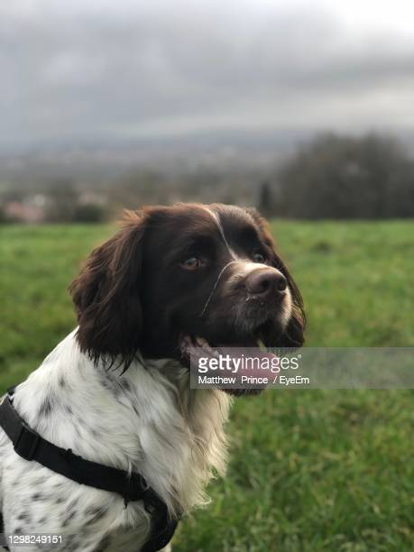 close-up of dog looking away - springer spaniel stock pictures, royalty-free photos & images