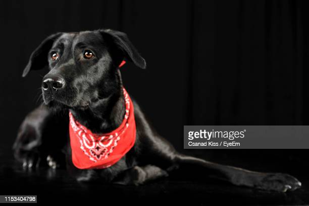 close-up of dog looking away while relaxing against black background - handkerchief stock pictures, royalty-free photos & images