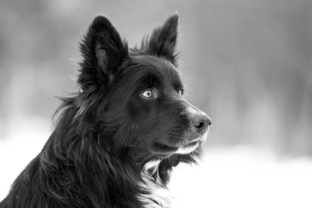 Close-up of dog looking away,Livno,Bosnia and Herzegovina