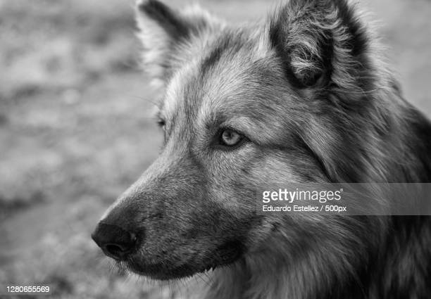 close-up of dog looking away,plasencia,extremadura,spain - blanco y negro stock pictures, royalty-free photos & images