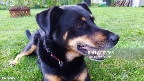 Close-up of dog lying down on grass