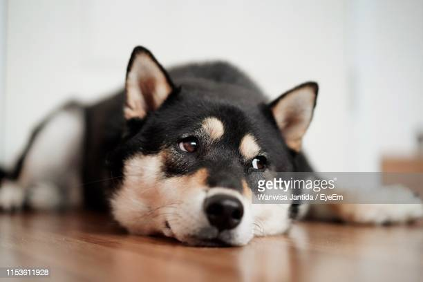 close-up of dog lying on floor at home - sled dog stock pictures, royalty-free photos & images