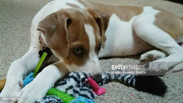 close-up of dog lying on floor - pavard stock pictures, royalty-free photos & images