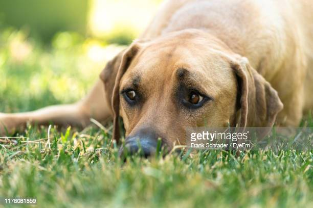 close-up of dog lying on grass - frank schrader stock pictures, royalty-free photos & images