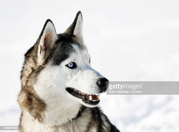 Close-Up Of Dog On Snow Against Sky