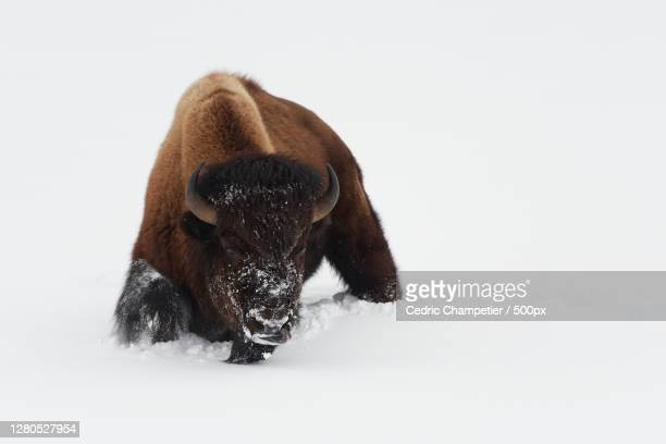close-up of dog on snow covered field,parc national de yellowstone,united states,usa - parc national de yellowstone stock pictures, royalty-free photos & images
