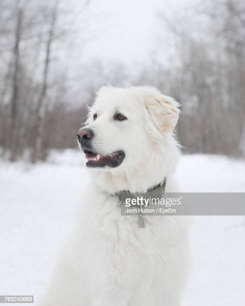close-up of dog on snow - hutton stock photos and pictures
