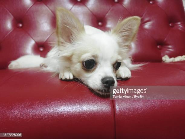 close-up of dog on sofa at home - japanese spitz stock pictures, royalty-free photos & images