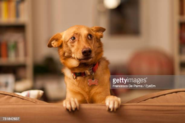 close-up of dog on sofa - fear stock pictures, royalty-free photos & images