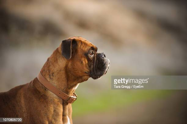 close-up of dog outdoors - boxer dog stock pictures, royalty-free photos & images