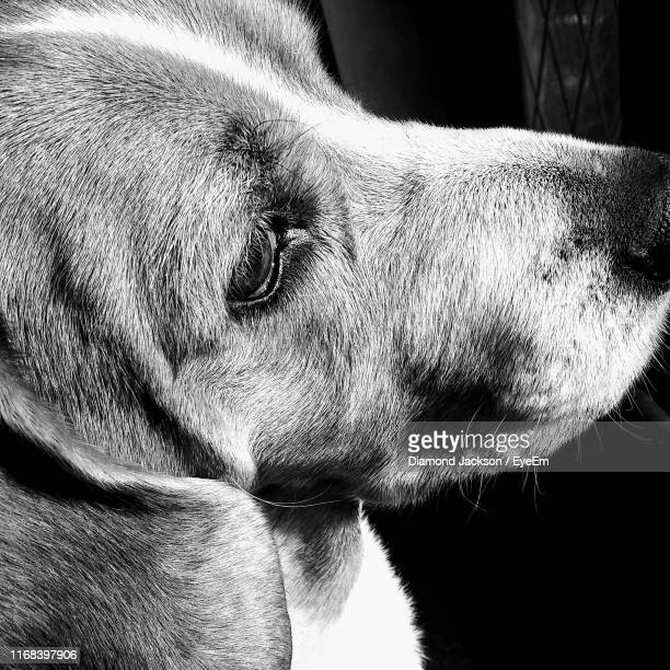 close-up of dog outdoors - diamond jackson stock pictures, royalty-free photos & images