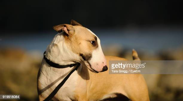 close-up of dog outdoors - bull terrier stock photos and pictures