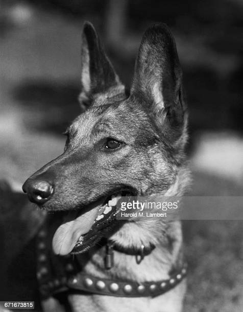close-up of dog panting - pawed mammal stock pictures, royalty-free photos & images