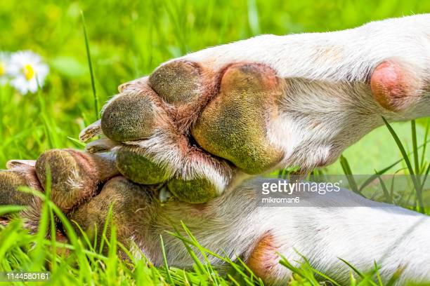 close-up of dog paws on grassy land - parte inferior imagens e fotografias de stock