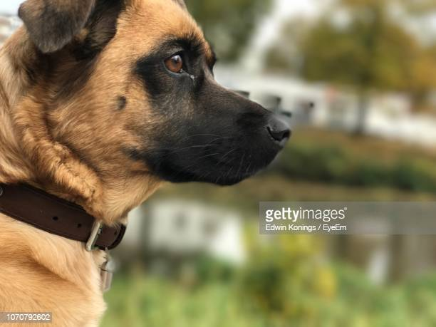 close-up of dog - collar stock pictures, royalty-free photos & images