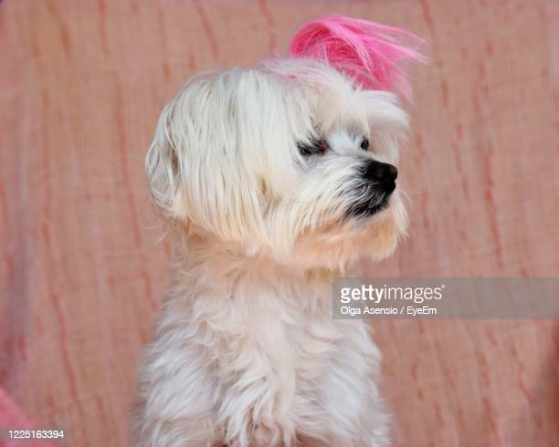 close-up of dog - millennial pink stock pictures, royalty-free photos & images