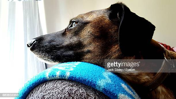close-up of dog - sibley stock photos and pictures