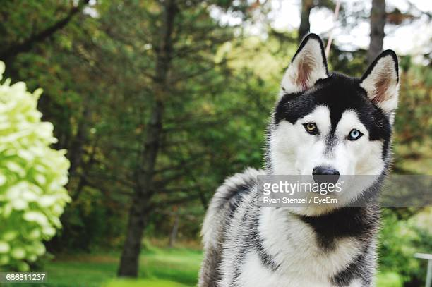 close-up of dog - husky dog stock pictures, royalty-free photos & images