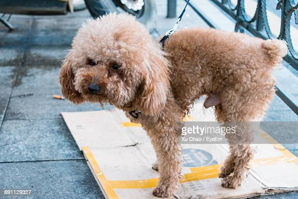 close-up of dog - miniature poodle stock photos and pictures